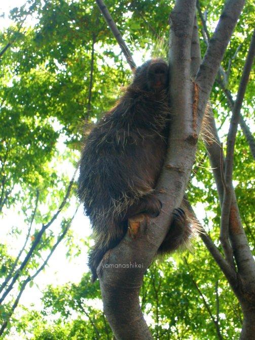 Porcupine - Ueno Zoo